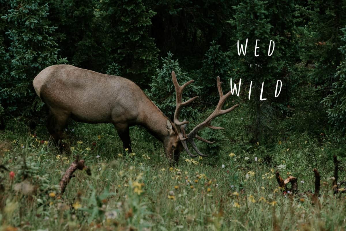 Elk seen at Rocky Mountain National Park Elopement